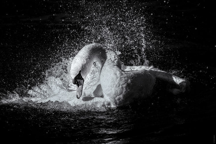 View of swan swimming in water