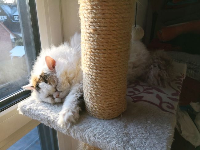 Selkirk Rex cat sleeping on cat tree scratching post Cat Sleeping Cat Selkirk Rex Cat Selkirk Rex Scratching Post Home Interior Window Cat Tree Cat Tree House EyeEm Selects Pets Domestic Room Home Interior Window Animal Themes Close-up Residential Structure At Home Feline Whisker Tabby Yellow Eyes Kitten Domestic Cat
