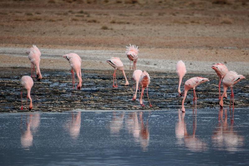 Flamingos at lake magadi, rift valley, kenya