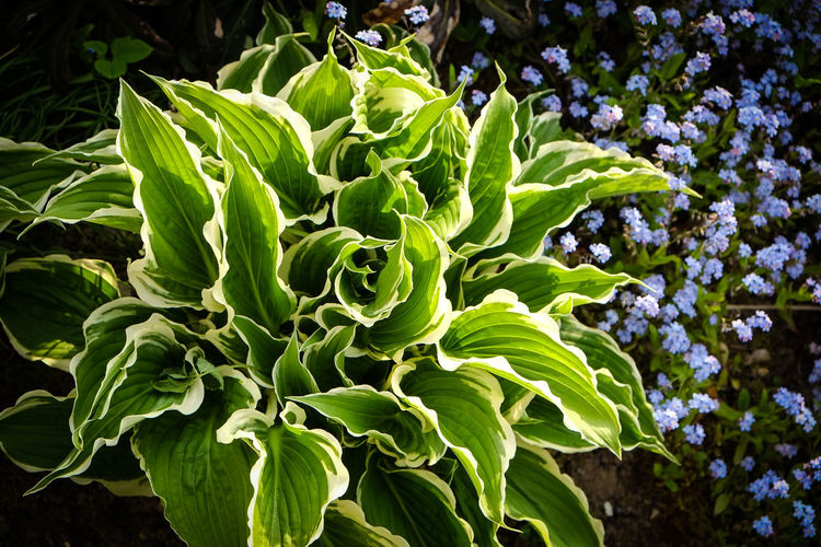 Frühjahr Funkien Agriculture Beauty In Nature Close-up Day Flower Fragility Freshness Green Color Growth Grün Hosta Leaf Nature No People Outdoors Plant Staude Weiss
