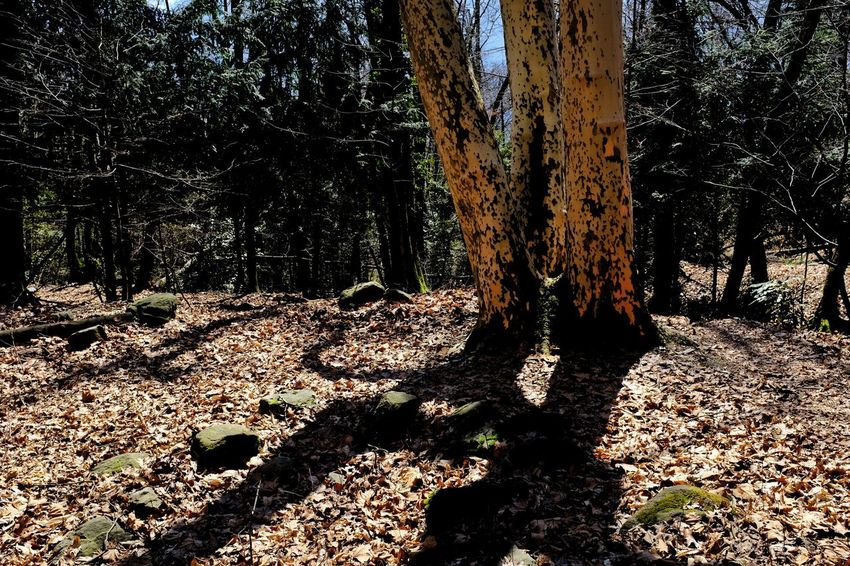Back in the forest - of spring... is not much to see yet ... my three favorite trees... Hello World Jacklycat©2018 Spring? Waiting Forest Getting Inspired Growth Land Light And Shadow Nature Non-urban Scene Plant Streetphotography Tranquility Tree Tree Trunk WoodLand