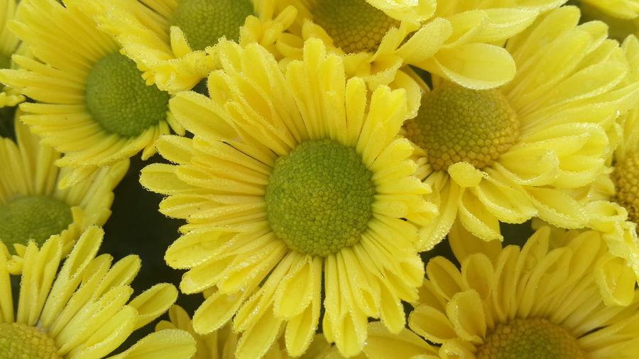 ดอกดาวเรือง Flower Yellow Fragility Flower Head Petal Beauty In Nature Nature Freshness Close-up Pollen Backgrounds Growth Plant Outdoors No People Sunflower Day Gerbera Daisy