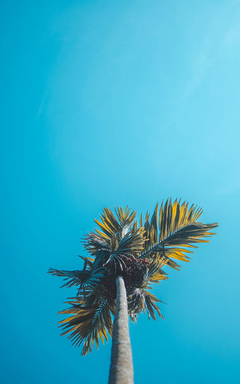 Palm Tree Blue Palm Tree Sky Tropical Climate Nature Copy Space Plant Low Angle View Colored Background No People Day Growth Outdoors Palm Leaf Clear Sky Leaf Tree Close-up One Animal Beauty In Nature Blue Background Coconut Palm Tree Turquoise Colored Tropical Tree Flower