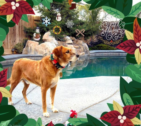 "My Year My View ""Although he is not with us anymore, I wanted to pay a little tribute to ""Bueno"", our beloved canine lifeguard for several years"" 🐕 Pets Dog One Animal Animal Themes not my First Eyeem Photo Domestic Animals Christmas Ornament Best Eyeem Edits From My Eyes To Yours THESE Are My Friends This Week On Eyeem The Way I See It Eyeemphotography EyeEm Best Shots From My Polnt Of View EyeEm Gallery Eye4photography  Best Eyeem Pics Christmas Around The World Xmas Tree XMas Spirit Dogs Of EyeEm in California, USA Happy Holidays to the EyeEm community! 🎄🔔🎅🎉🎍🎊🌠"
