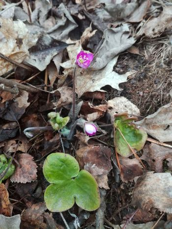 Hepatica Plant Leaf Fragility Flower Day Nature Beauty In Nature Flowering Plant Growth High Angle View Outdoors Freshness Close-up Field No People Forest Springtime Spring Flower Ground Finland Pink Color Green Color