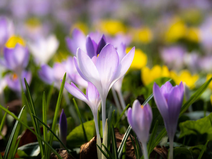 Flowering Plant Flower Plant Freshness Beauty In Nature Vulnerability  Growth Fragility Close-up Purple Petal Field Crocus Iris Nature Land Selective Focus Flower Head Inflorescence No People Springtime Flowerbed
