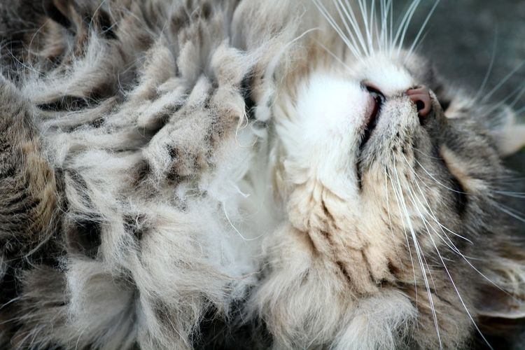 Süße Katze Katze Cat♡ Mainecoon Animal Hair No People Animal Head  One Animal Tired Cat Pets Canon