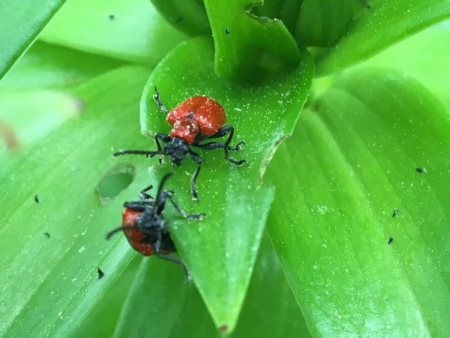 Insect Green Color Leaf Nature Animals In The Wild Animal Themes One Animal No People Red Day Close-up Outdoors Ladybug First Eyeem Photo EyeEmNewHere