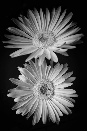 flower portrait Gerbera Gerbera Flower Daisy Daisy Flower Daisy 🌼 Blackandwhite Black And White Black & White Black Background Blackandwhite Photography EyeEm Best Shots - Black + White EyeEm Flower Flower Head Black Background Flower Symmetry Petal Close-up Stamen Pistil Gerbera Daisy Daisy In Bloom Botany