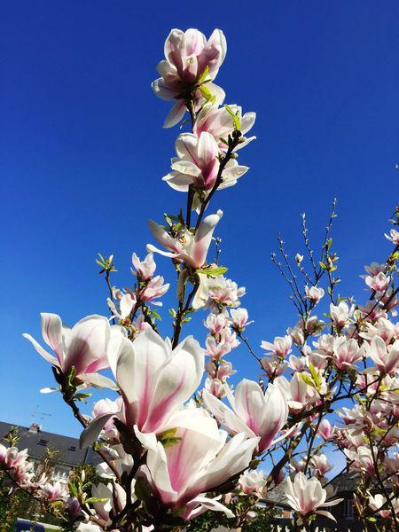 Magnolia Flowers Photo Sun