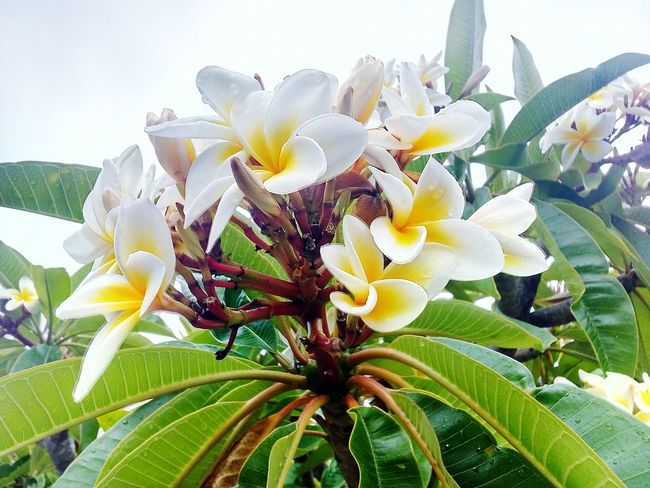 Frangipani Flowers Flower Nature Beauty In Nature Growth Plant Fragility Freshness No People Day Close-up Outdoors