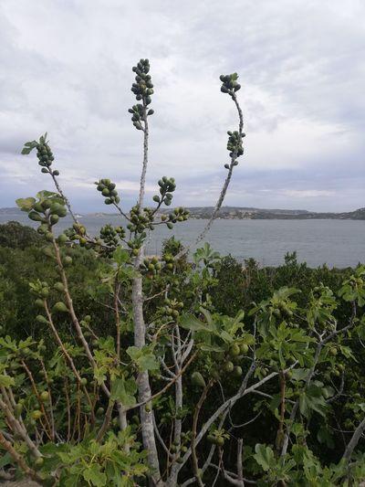 Fig tree Tree