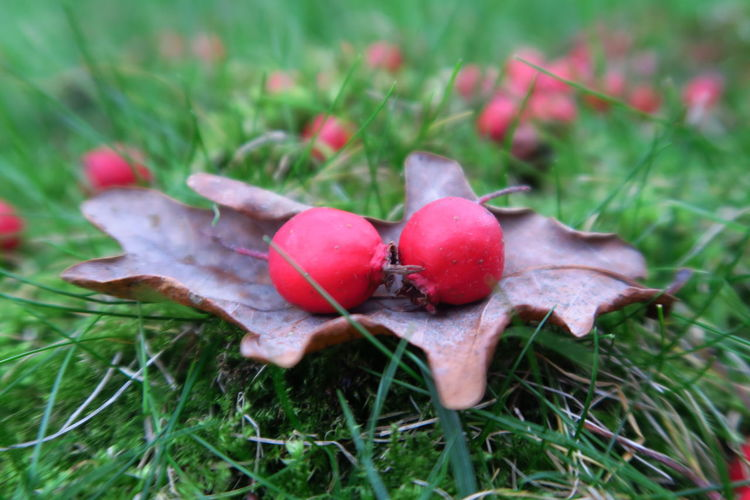 Berries, in a bed of moss, but no food Autumn Collection Autumn Colors Autumn Leaves Autumn🍁🍁🍁 Bud Close-up Eye4photography  EyeEm Nature Lover Fallen Fruits Fallen Leaves First Eyeem Photo Focus On Foreground Food And Drink Freshness Fruit Grass Leaf Moss Moss & Lichen Mossporn Oak Leaves Organic Red Red Berries Ripe