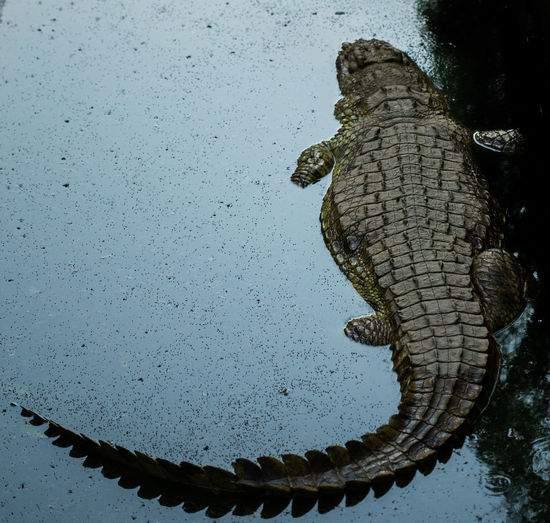 Animal Themes Animal One Animal Water Animals In The Wild Animal Wildlife Reptile Nature Vertebrate No People Day Outdoors Lake Crocodile High Angle View Close-up Reflection Animal Scale