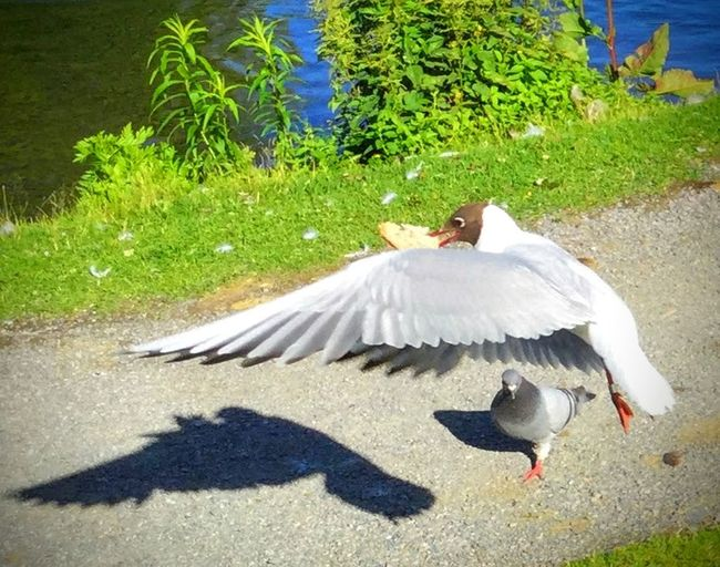 'Grand Theft Food's' Bird Animal Themes Animals In The Wild Animal Wildlife Outdoors Shadow High Angle View Sunlight One Animal Day Grass Nature No People Spread Wings Beauty In Nature Perching Seagull Summertime 🌞 Nature Photography Oslo2016✨ Oslo 2017 KJ✨ Reminiscing Beautiful Nature