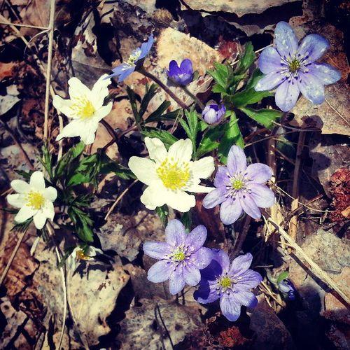 A bouquet of spring Anemone Blueanemone Hepatica Wildanemone ninacombat spring flower flowerlowers flowers blueflower whiteflower nature naturelovers wilderness springflowers vitsippor blåsippor