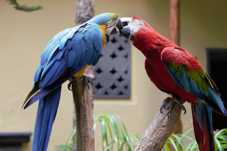 Macaws kissing on wood