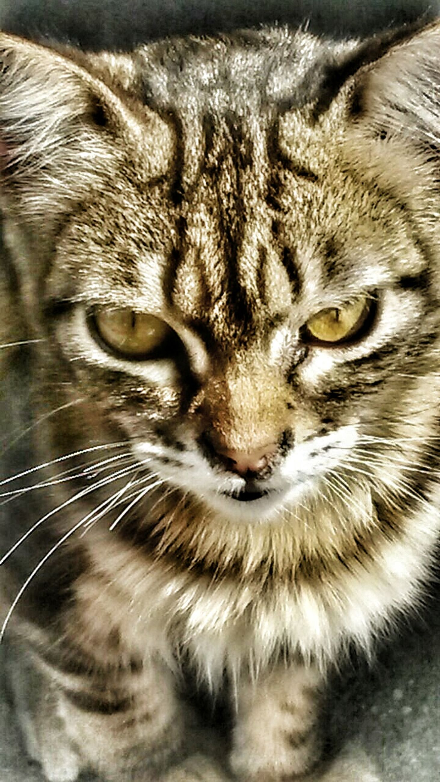 one animal, animal themes, pets, domestic cat, domestic animals, cat, whisker, mammal, feline, animal head, close-up, portrait, animal eye, looking at camera, animal body part, indoors, staring, snout, front view
