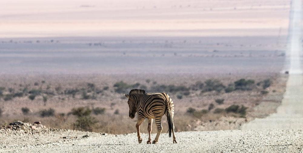 A family of zebras at etosha national park