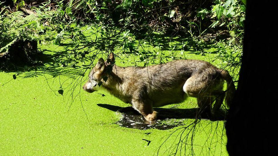 Animals Auch ein junger Wolf muss mal baden wenn er den Damen gefallen will.