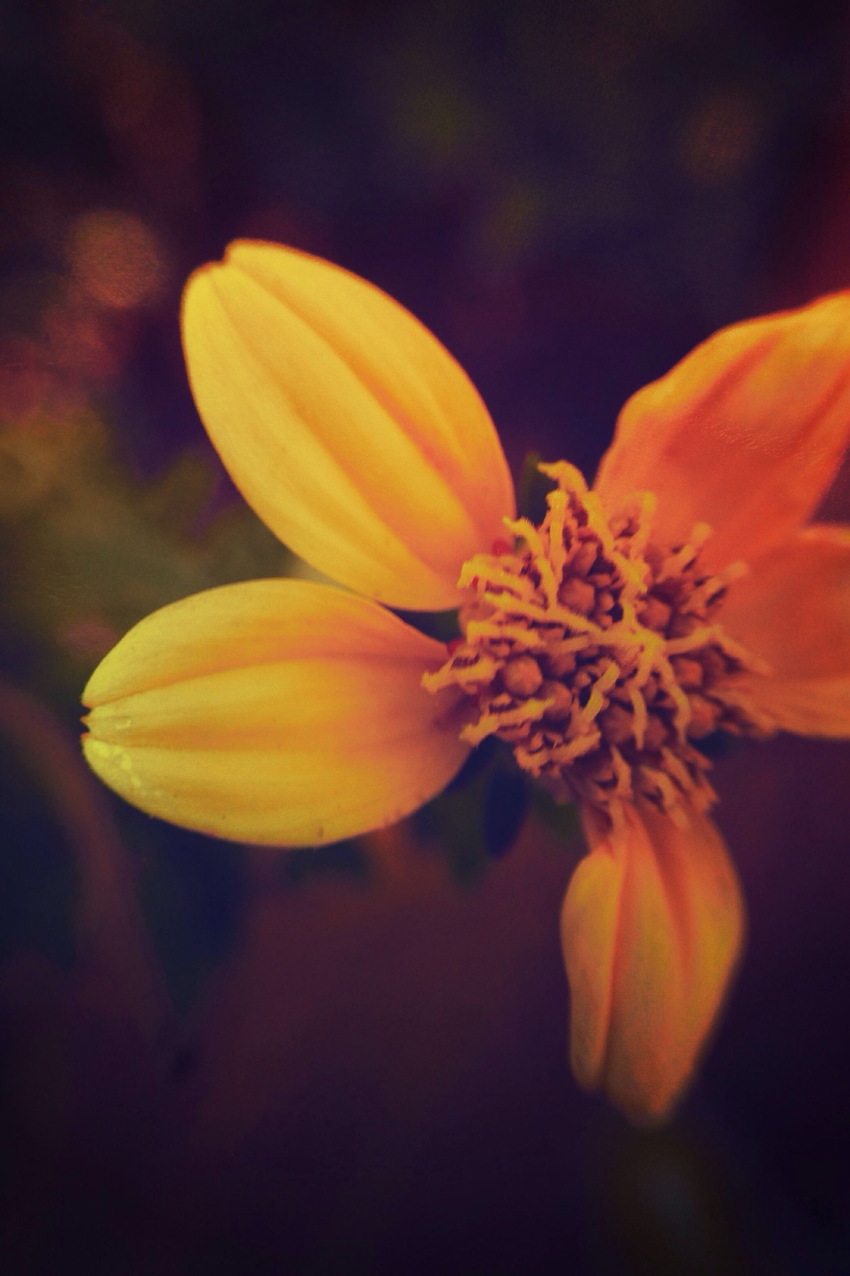 flower, petal, freshness, fragility, flower head, close-up, growth, beauty in nature, yellow, nature, focus on foreground, pollen, single flower, blooming, plant, selective focus, stamen, in bloom, blossom, botany