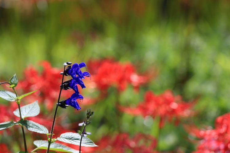 彼岸花に混じって蛇みたいな花♪(