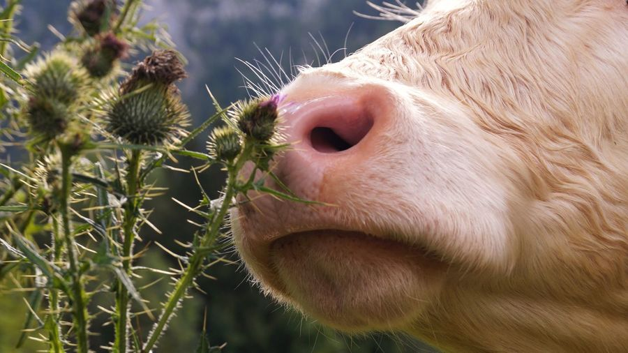 Cropped Image Of Cattle Smelling Flower Buds