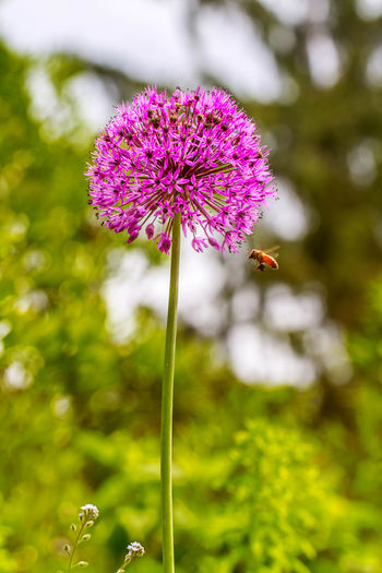 A bee hovering next to an Allium Bulb flower. Allium Allium Bulb Allium Flower Beauty In Nature Bee Bee Hovering Blooming Close-up Flower Focus On Foreground Garden Photography Hovering Insect Nature Nature Photography Nature_collection No People Petal Plant Purple Selective Focus Single Flower Stem Vertical