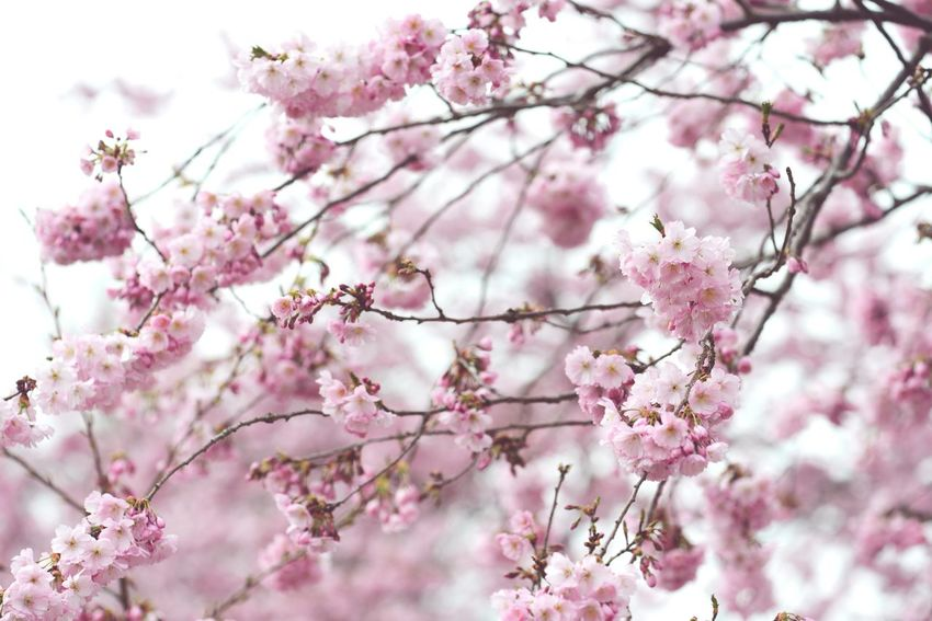 natural fullframe background of pink cherry blossom. Plant Background Background Fullframe Natural Background Springtime Natural Texture Blossom Pink Cherry Blossoms Cherry Blossoms Pink