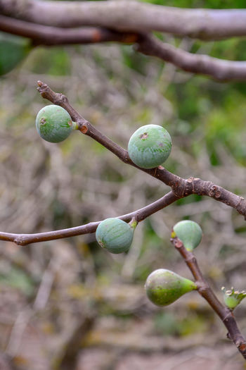 Close-up of buds growing on branch
