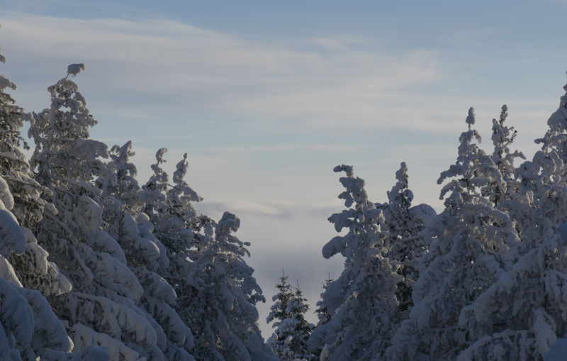 Top Of The Mountains Forest Above The Clouds Cloud - Sky Sunlight Blue Color Tree Snow Pinaceae Pine Tree Forest Mountain Tree Area Sky Cloud - Sky Treetop Foggy Snow Covered Tree Trunk Bark Woods Evergreen Tree Plant Bark The Great Outdoors - 2019 EyeEm Awards