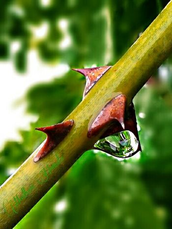 Hanging drop.. Thorns Thorn Thorns And Beauty Thorn Tree Thorny Bush Rose Plant Rose Thorn Thorns🌹 Rose Plant Thorn Closeupshot Rain Rain Drops Rain Drop Rain Drop On Thorns Rain Photography Green Stem Stem Rose Stem Greenary Garden Photography Brown Thorns Sharp Sharp Thorns