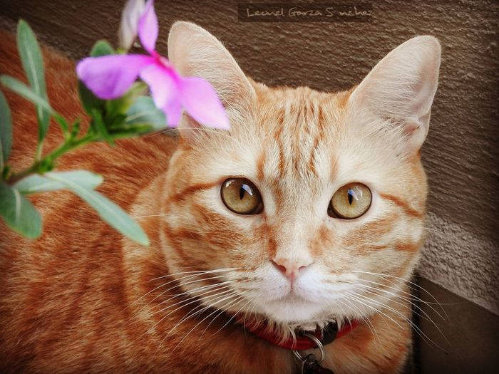 Portrait of cat by pink periwinkle flower