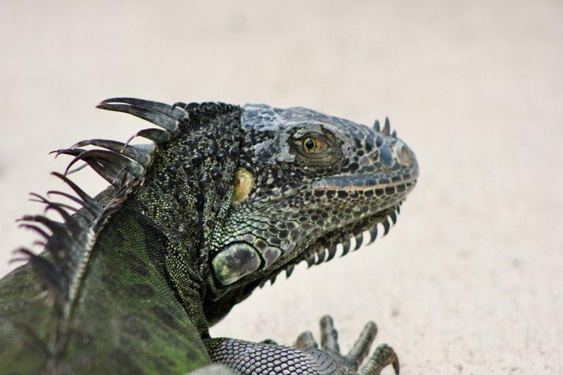 hey what's up? Dangerous Animals Dangerous Look Irokese Leguan Animal Animal Themes Animal Wildlife Reptile One Animal Lizard Vertebrate Iguana Animal Body Part Animal Head  Outdoors