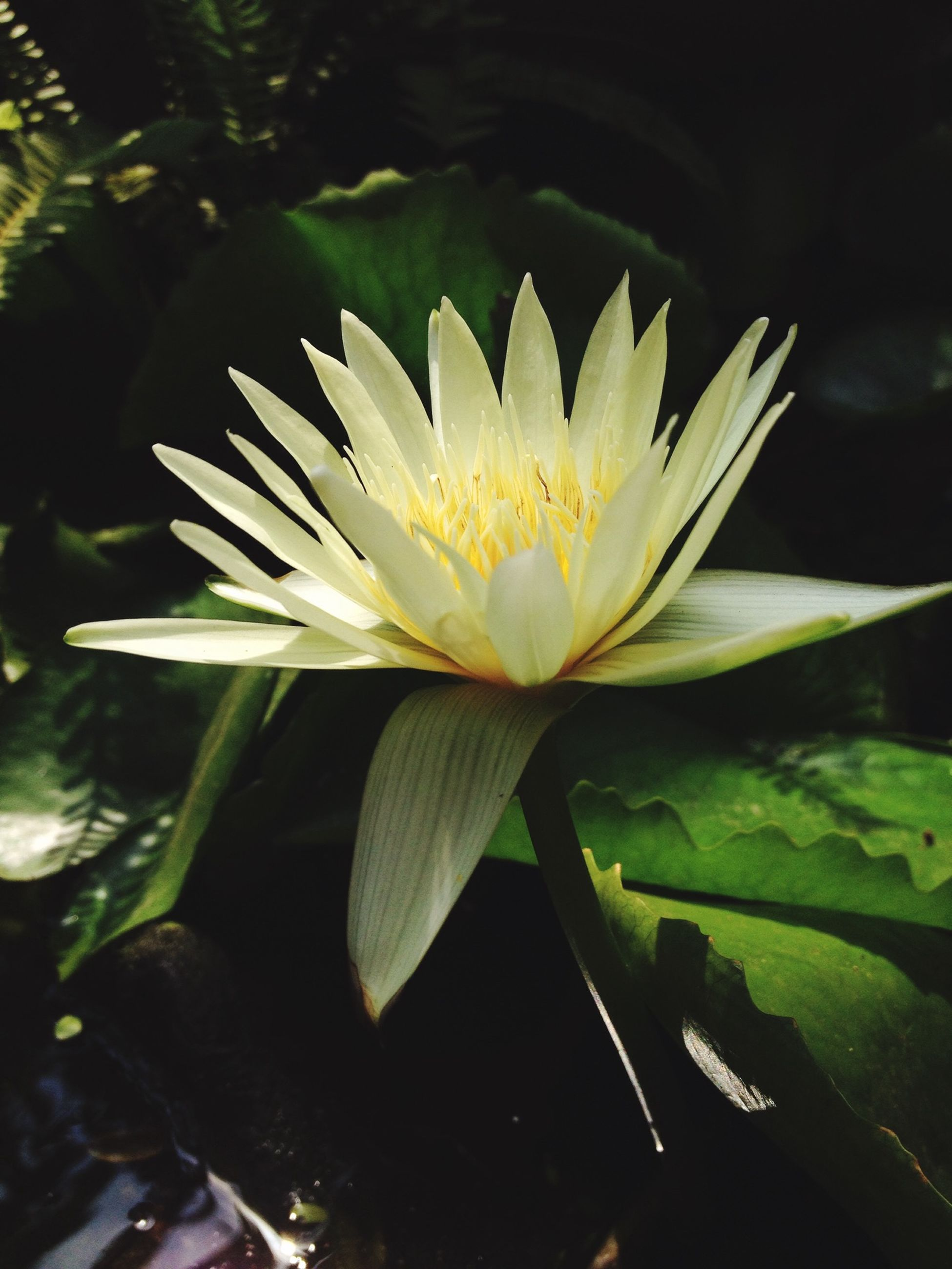 flower, petal, flower head, freshness, fragility, growth, single flower, beauty in nature, water lily, blooming, plant, nature, leaf, close-up, white color, pollen, pond, high angle view, in bloom, outdoors