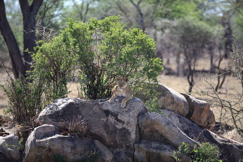 Allertness Animal In The Wild Animal Instincts Animal Themes In The Heat Of The Day Lion Hunting Lion Lurking Lion On The Rock Lion Waiting For Prey Lurking Ahead Predator Instinct Rock Formation Scouting Serengeti Tanzania Tranquil Scene Wildlife