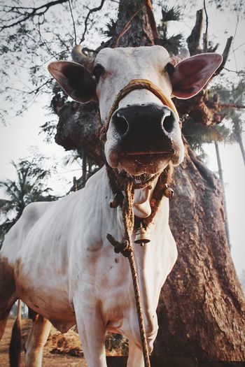 cow staring EyeEm Selects Early Morning Close Up Farm Farm Life Daily Life Protruding Cow Bull - Animal Taurus Ranch Cattle Livestock Tag Farm Animal Horned Domestic Cattle Animal Mouth Dairy Farm Domesticated Animal Tag EyeEmNewHere