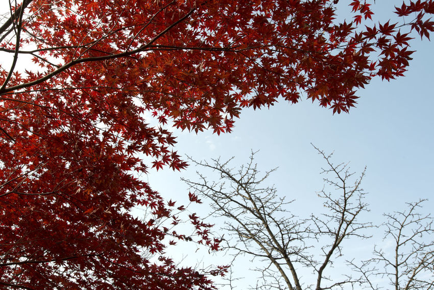autumn landscape at Janggye Tourism Place in Okcheon, Chungbuk, South Korea Autumn Autumn Leaves Janggye Okcheon Autumn Autumn Collection 2017 Beauty In Nature Branch Clear Sky Day Growth Low Angle View Maple Maple Leaves Nature No People Outdoors Sky Tranquility Tree