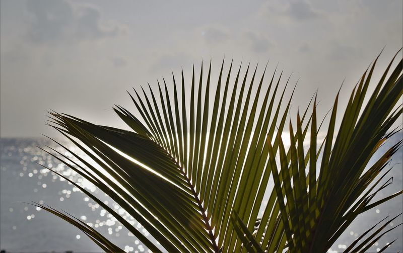 Beauty In Nature Close-up Cloud - Sky Day Focus On Foreground Frond Green Color Growth Leaf Nature No People Outdoors Palm Leaf Palm Tree Plant Plant Part Sky Tranquility Tree Tropical Climate Tropical Tree