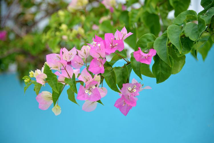 Pink Beauty In
