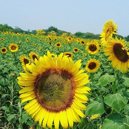 Sunflower Garden Beautiful Superduperhot Yelow