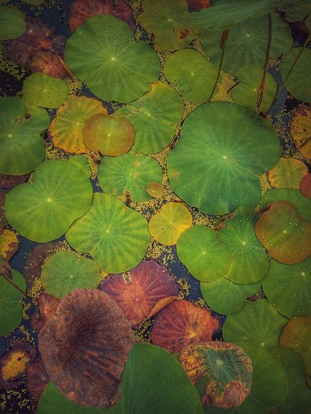 Lotus Leaves Lotus Leaf Leaf Leaves Leaves Collection Leaf Collection Leaf On The Water Leaves On The Water Leaf Photography Leaves Photography Nature Nature Photography Color Of Leaves Color Leaf Color Of Nature Colorful Nature Colorful Leaves Colorful Leaf Beauty Of Nature Pattern Pattern Of Nature Pattern Of Leaf