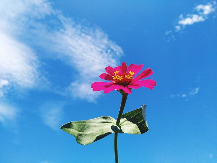 Low angle view of pink flower against blue sky