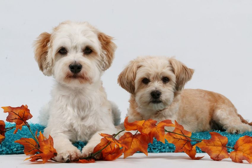 two little dogs lying in the studio on a carpet with autumn decoration Autumn Colors Friends Leaf 🍂 Animal Themes Autumn Decoration Carpet Close-up Cute Decoration Dog Domestic Animals Havanese Havaneser Indoors  Lying Down Maltese Malteser Mammal Mixed No People Pair Petrol Pets Portrait
