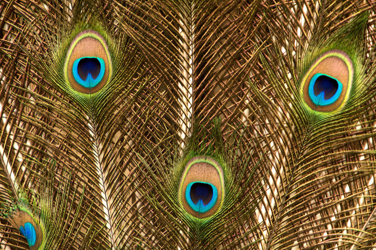 Close up view, male peacock feathers