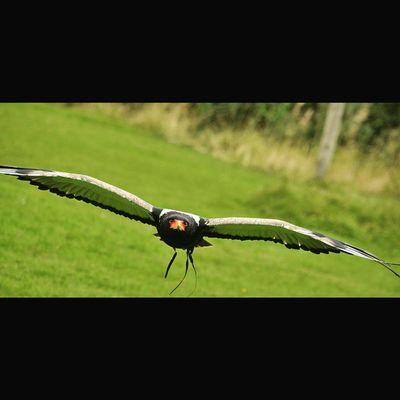 A Bateleur Eagle flying straight towards me, World of Wings. Nikon D7000, ISO 500 f5.6, 1/640sec Ig_shutterbugs Nature_sultans Igsuper_shots Ig_bestshots Naturelover_gr Master_shots Splendid_shotz Thebest_captures Birdscaptures Birdsofinstagram Birdseyeview Birdsplanet Birdslover Birdsflying Birdsofprey Birdspotting Birds_of_instagram Nature_best_shots