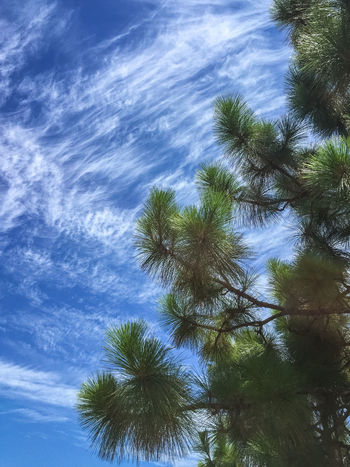 Pine needles & blue sky Blue Sky And Clouds Blue Sky And White Clouds Florida Nature Growth High Clouds Low Angle View Nature No People Outdoors Pine Needles Pine Trees Against The Sky Sky Tranquil Scene Tree