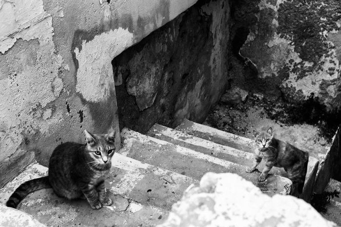 Cat Wall - Building Feature Feline Looking At Camera Outdoors Stray Animal Day Domestic Cat Domestic Animals Cat Sitting Day Animal Outdoors Greece ıslands Kiklades Naxos Monochrome Photography