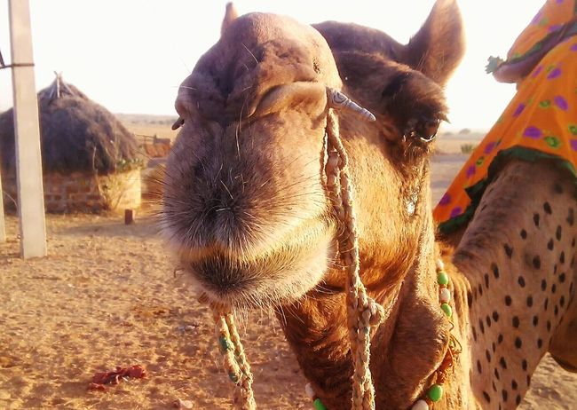 The Crying Camel Closeup Camel Animal Themes Close-up EyeEm Gallery Indian Stories The Week On EyeEem Check This Out Mobile Photography Eyeemphoto Taking Photos Outdoors Traveling India Indianstories