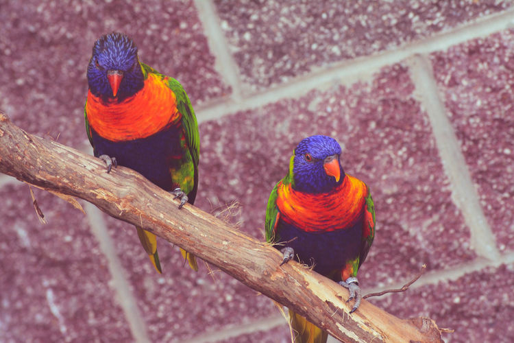 Rainbow lorikeets perching on branch against wall